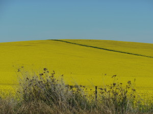 Amazingly sunny. This field of canola is just south of Wellington.