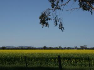 Sunny fields of canola,